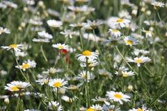 Chamomile kwiatu natury tło Zdjęcia Royalty Free