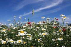 Chamomile kwiatu pole Zdjęcie Royalty Free