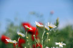 Chamomile kwiatu wiosny sezon Fotografia Royalty Free