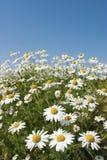 chamomile kwiaty zdjęcia royalty free
