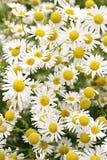 Chamomile kwiaty Fotografia Royalty Free