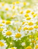 Chamomile kwiaty Obrazy Royalty Free