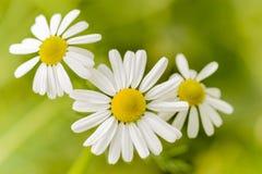 Chamomile kwiaty Zdjęcie Stock
