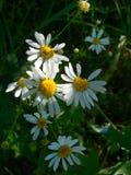 Chamomile kwiaty Obrazy Stock