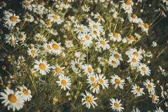 Chamomile kwiaty na łące w lato zdjęcia royalty free