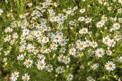 Chamomile kwiaty na łące w lato obrazy stock