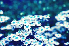 Chamomile kwiaty w abstrakcie barwią dla dekoracyjnego projekta Zdjęcia Stock