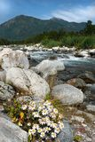 Chamomile kwitnie blisko gór i skalistej rzeki fotografia stock
