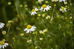Chamomile kwitnie na łące w lecie, selekcyjna ostrość, plama Piękna natury scena z kwitnąć medyczne stokrotki na słonecznym dniu obrazy royalty free