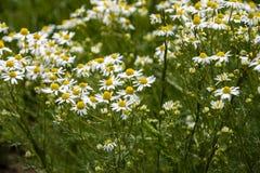 Chamomile kwitnie na łące w lecie, selekcyjna ostrość, plama Piękna natury scena z kwitnąć medyczne stokrotki na słonecznym dniu fotografia stock