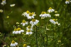 Chamomile kwitnie na łące w lecie, selekcyjna ostrość, plama Piękna natury scena z kwitnąć medyczne stokrotki na słonecznym dniu obraz royalty free