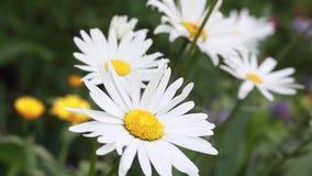 Chamomile kwitnie w łące zdjęcie wideo