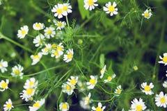 Chamomile kwitnie w ogródzie zdjęcie royalty free