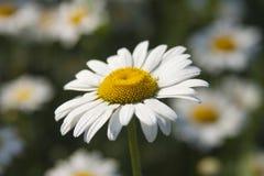 Chamomile kwitnie w ogródzie, makro- Fotografia Royalty Free