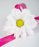Chamomile kwitnie z faborkiem Zdjęcia Royalty Free