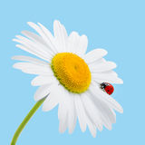 Chamomile and ladybird  on blue. Daisy and ladybird. Sum Royalty Free Stock Image