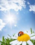 Chamomile and ladybug Royalty Free Stock Photo