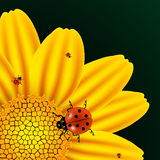 Chamomile and ladybugs Stock Photography