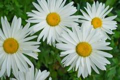 Chamomile large- beautiful flower. Chamomile large- beautiful white flower royalty free stock photos