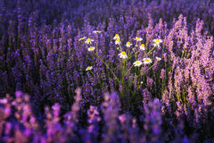 Chamomile in lavender field Stock Photos