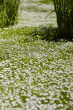 Chamomile lawn. A garden scene in shallow DoF with small white flowers on a green ground covering royalty free stock images
