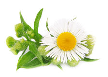 Chamomile with leaves Royalty Free Stock Photos