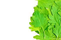 Chamomile leaves isolated on white Royalty Free Stock Photo