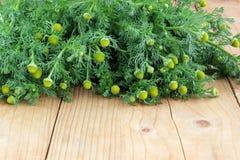 Chamomile leczniczy tła bazy projekt ziołowy Obraz Stock