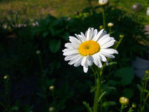 Chamomile. Lonely white chamomile makes the viewer`s eye happy Royalty Free Stock Images