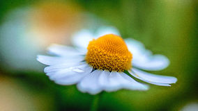 Chamomile macro. A macro shot of a chamomile and a droplet of water Royalty Free Stock Images