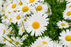 Chamomile. Many bright, large garden chamomiles, similar to small suns Stock Images