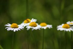 Wild daisies, chamomile. Summer day stock photo