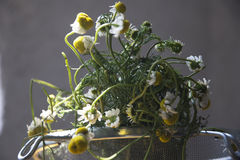 Chamomile. Manzanilla, beautiful flower and a good treatment against the flu Stock Images