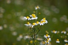 Chamomile (Matricaria chamomilla) Fotografia Stock