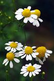 Chamomile (Matricaria chamomilla). Blooming in a field in Italy stock photo