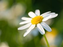 Chamomile Matricaria chamomilla flower blooming on the meadow. Beautiful chamomile Matricaria chamomilla flower blooming on the meadow on a sunny day royalty free stock image