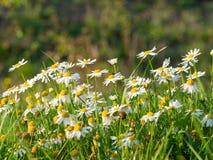 Chamomile Matricaria chamomilla flowers blooming on the meadow. Beautiful chamomile Matricaria chamomilla flowers blooming on the meadow on a sunny day stock image