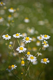 Chamomile (Matricaria chamomilla) Stock Photos