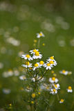 Chamomile (Matricaria chamomilla) Royalty Free Stock Images