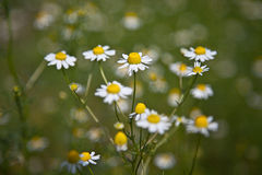 Chamomile (Matricaria chamomilla) Stock Photo