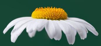 Chamomile Stock Image