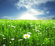 Chamomile meadow Stock Photography