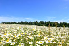 Chamomile meadow on the background of the summer sky. Chamomile meadow on the background of a clear summer sky Stock Image