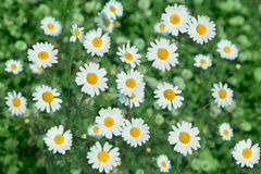 Chamomile  meadow Royalty Free Stock Image