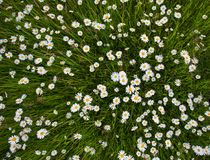 Chamomile meadow flowers. Beautiful nature scene with blooming chamomilles. Spring or summer background stock photography