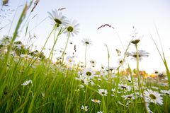 Chamomile meadow flowers. Beautiful nature scene with blooming chamomilles. Spring or summer background stock photos