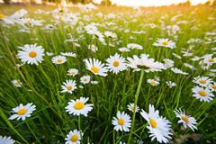 Chamomile meadow flowers. Beautiful nature scene with blooming chamomilles. Spring or summer background stock photo