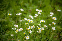 Chamomile on a meadow Royalty Free Stock Photos