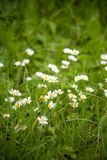 Chamomile on a meadow Royalty Free Stock Image