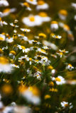 Chamomile. For medicinal and aromatic tea Stock Photography